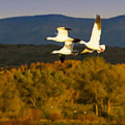 Snow Geese Flying In Fall Poster