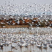 Snow Geese No.4 Poster