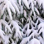 Snow Laden Branches Poster