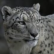 Snow Leopard 15 Poster