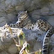 Snow Leopard    No.2 Poster