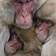 Snow Monkey And Young Poster