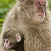 Snow Monkeys, Mother With Her Baby Poster