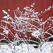 Snow On Burdock Burr Weed Against Red Barn Siding Poster
