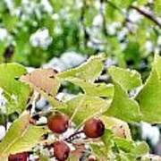 Snow On Green Leaves With Red Berries Poster