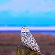 Snow Owl At Sunset Poster
