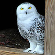 Snow Owl Poster