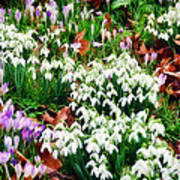 Snowdrops And Crocuses Poster