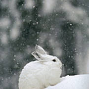 Snowshoe Hare In Snowfall Yellowstone Poster