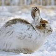 Snowshoe Hare In Winter Poster