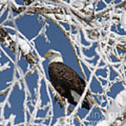 Snowy Bald Eagle Poster