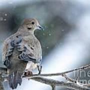Snowy Dove Poster