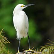 Snowy Egret 1 Poster