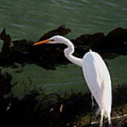 Great Egret Monterey Bay California  By Pat Hathaway Poster