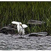 Snowy Egret Fishing Poster