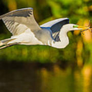 Snowy Egret Flying With A Branch Poster by Andres Leon