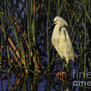 Snowy Egret In The Reeds Poster