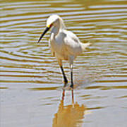 Snowy Egret Looking For Fish Poster