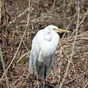 Snowy Egret On The Marsh Poster