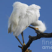 Snowy Egret Photograph Poster