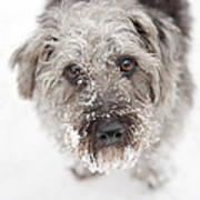 Snowy Faced Pup Poster