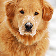 Snowy Golden Retriever Poster by Christina Rollo
