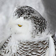 Snowy Owl 2 Poster