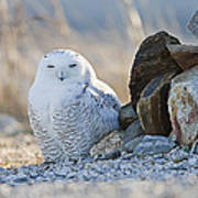 Snowy Owl Among The Rocks Poster