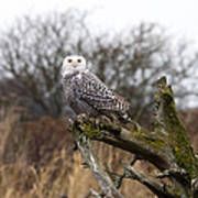 Snowy Owl At Boundary Bay  Poster