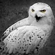 Snowy Owl Calling Poster by Ed Pettitt