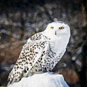 Snowy Owl Cold Stare Poster