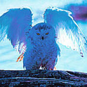 Snowy Owl Drying After Bath Poster