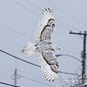 Snowy Owl Glides Into Town Poster