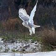 Snowy Owl In Florida 10 Poster