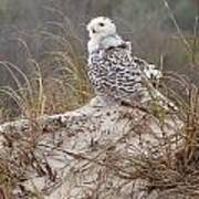 Snowy Owl In Florida 14 Poster