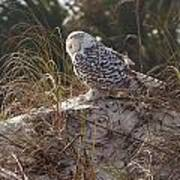 Snowy Owl In Florida 15 Poster