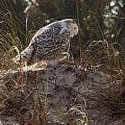 Snowy Owl In Florida 16 Poster