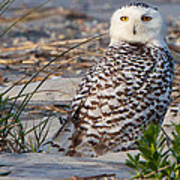 Snowy Owl In Florida 24 Poster