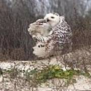Snowy Owl In Florida 4 Poster