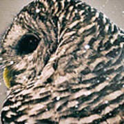 Snowy Owl In Snow Storm -- Blizzard Poster