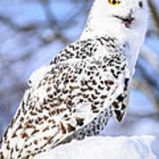 Snowy Owl Look Out Poster