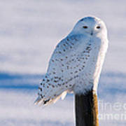 Snowy Owl On A Post Poster
