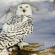Snowy Owl On A Winter Hunt Poster by Inspired Nature Photography Fine Art Photography