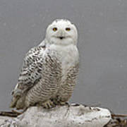 Snowy Owl On An Ice Flow Poster