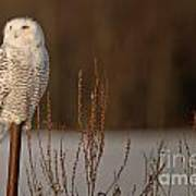 Snowy Owl Pictures 52 Poster