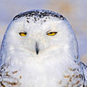 Snowy Owl Portrait Poster