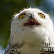 Snowy Owl With Big Eyes Poster