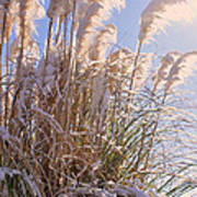 Snowy Pampas Grass Poster
