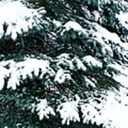 Snowy Pine Poster