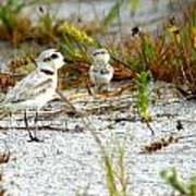 Snowy Plover And Chick Poster